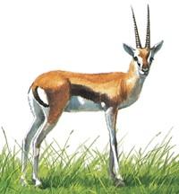 gazelle-info0
